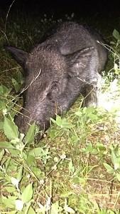 6-16-14 Wyldes Hog Up Close